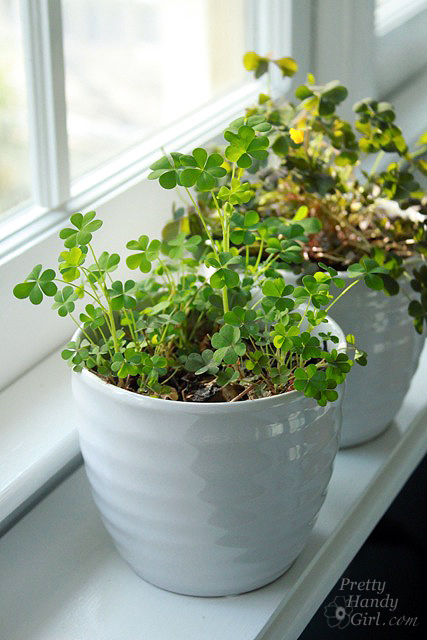 clover_beauty_in_pot