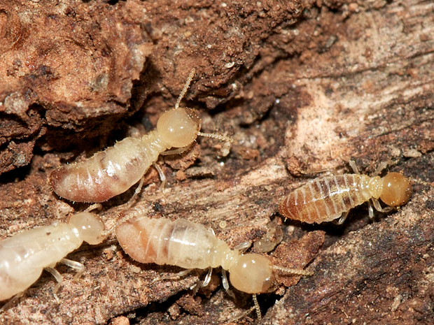 What Do Termites Look Like to The Human Eye  Keep Bugs Away