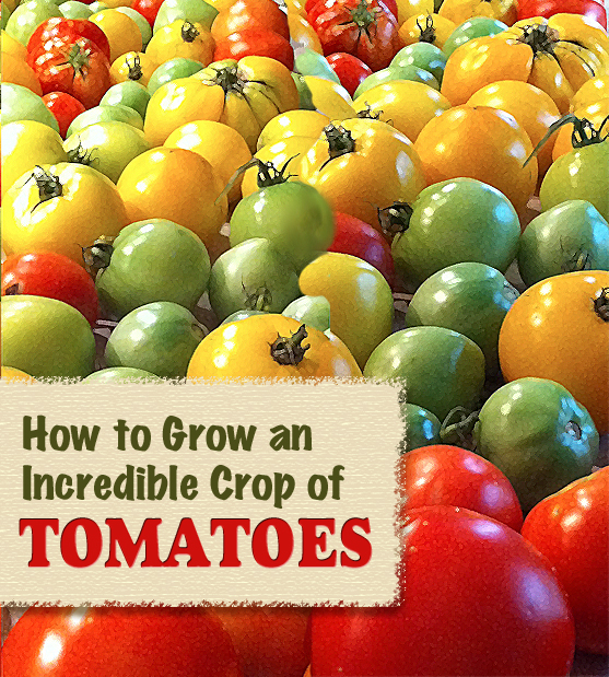 How-to-grow-incredible-tomatoes