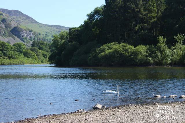 swan_in_lake