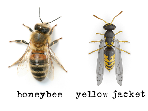 What does a wood bee look like