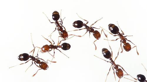 2 Ingredient Ant Killer | Pretty Handy Girl