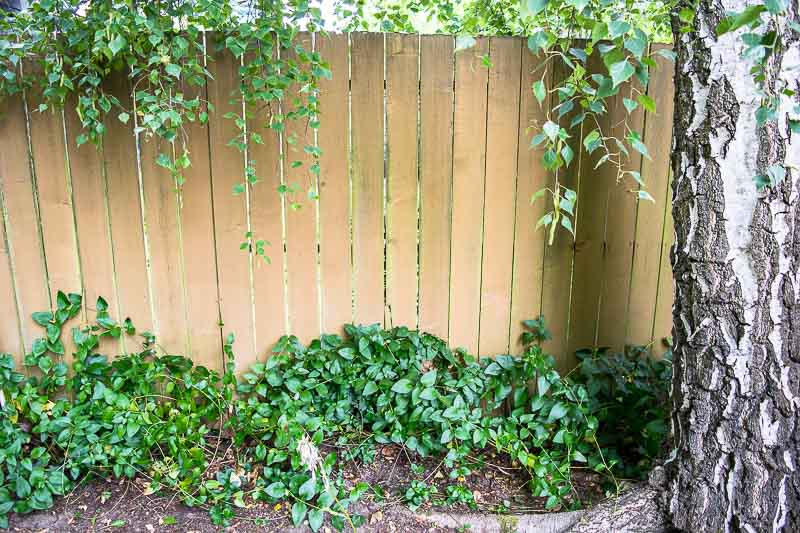 That mound of green at the bottom of the fence is a vine! With a new fence trellis, it can climb and thrive.