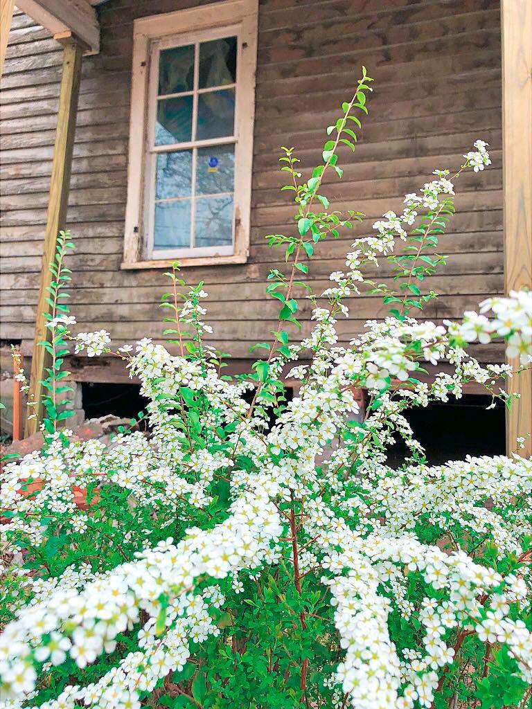 Bridal Veil Spirea original to house