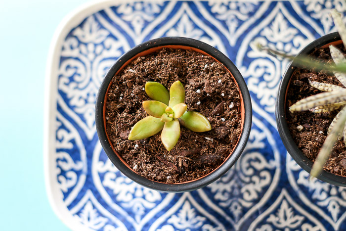top down view of succulent in planter on decorative plate